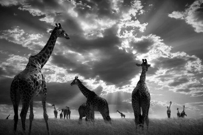 In The Herd by Björn Persson