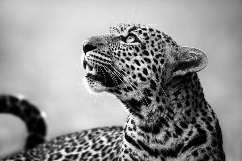 Leopard by Björn Persson